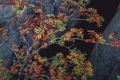 Ramas con las hojas coloreadas al borde de las rocas Fotos de archivo libres de regalías