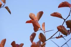 Ramas con las hojas de otoño rojas contra el cielo fotografía de archivo libre de regalías