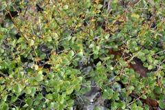 Ramas con las hojas de un abedul enano (Betula Nana L ) Fotografía de archivo