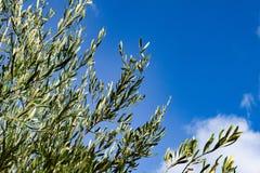 Ramas con las hojas del olivo Fotografía de archivo