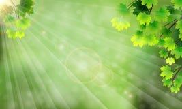 Ramas con las hojas, el resplandor y los rayos del sol Imagen de archivo libre de regalías