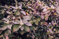 Ramas con las hojas y las bayas en el sol de la tarde fotografía de archivo libre de regalías