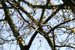Ramas con los brotes Fondo del árbol Imágenes de archivo libres de regalías