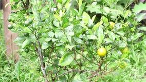 Ramas con los limones inmaduros Árboles de limón, agricultura metrajes