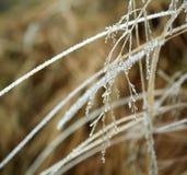 Ramas congeladas de la planta cubiertas con hielo Foto de archivo libre de regalías