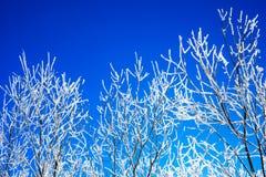 Ramas cubiertas con escarcha en fondo del cielo azul Imágenes de archivo libres de regalías