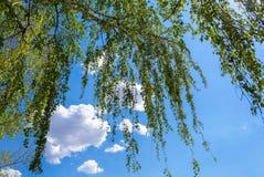 Ramas de árbol de abedul contra el cielo azul en primavera Fotografía de archivo libre de regalías