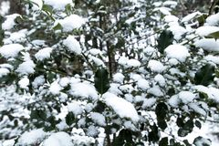 Ramas de árbol de acebo cubiertas con nieve fotos de archivo