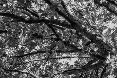 Ramas de árbol blancos y negros Imagen de archivo