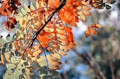 Ramas de árbol coloreadas de ceniza de montaña en la luz del sol - fondo del otoño Fotos de archivo libres de regalías
