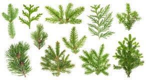 Ramas de árbol conífero determinadas Picea, pino, thuja, ramitas del abeto Imagenes de archivo