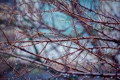 Ramas de árbol con gotas de lluvia de la ejecución Fotografía de archivo
