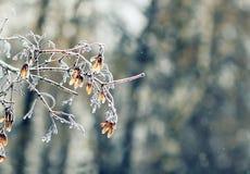 Ramas de árbol con hielo transparente brillante en un invierno Imágenes de archivo libres de regalías