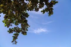Ramas de árbol con las hojas contra el cielo azul Imágenes de archivo libres de regalías