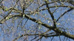 Ramas de árbol con los brotes