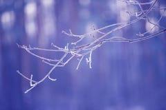 Ramas de árbol congeladas en el hielo Rama de árbol congelada en la rama del bosque del invierno cubierta con nieve Imagen de archivo libre de regalías