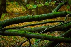 Ramas de árbol cubiertas con el musgo en el bosque Fotos de archivo libres de regalías