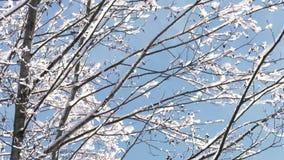 Ramas de árbol cubiertas con nieve en invierno almacen de video