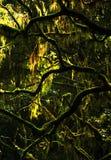 Ramas de árbol cubiertas de musgo Imágenes de archivo libres de regalías