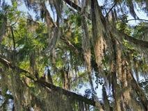 Ramas de árbol cubiertas en musgo español Foto de archivo