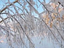Ramas de árbol de abedul Nevado Imágenes de archivo libres de regalías
