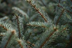 Ramas de árbol de abeto Imagen de archivo