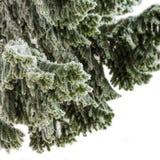 Ramas de árbol de abeto cubiertas con helada Imagen de archivo libre de regalías