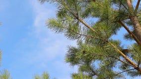 Ramas de árbol de abeto que soplan el viento, nubes blancas en un cielo azul almacen de metraje de vídeo