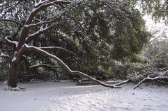 Ramas de árbol de doblez en la nieve Imagen de archivo libre de regalías