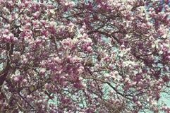 Ramas de árbol de la magnolia por completo de flores Imagen de archivo libre de regalías