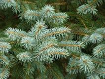 Ramas de árbol de la piel de White Pine Imagenes de archivo