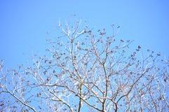 Ramas de árbol de las palomitas en invierno Foto de archivo libre de regalías