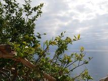 Ramas de árbol de limón Imágenes de archivo libres de regalías