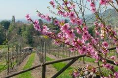 Ramas de árbol de melocotón en primavera Fotografía de archivo libre de regalías
