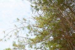 Ramas de árbol de pino Foto de archivo libre de regalías
