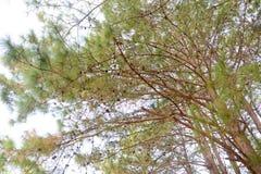 Ramas de árbol de pino Fotos de archivo