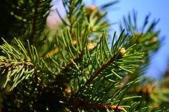 Ramas de árbol de pino Fotos de archivo libres de regalías