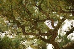 Ramas de árbol de pino Foto de archivo