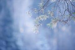 Ramas de árbol de pino del invierno cubiertas con nieve Rama de árbol congelada en bosque del invierno Fotos de archivo