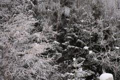 Ramas de árbol debajo de la nieve foto de archivo libre de regalías