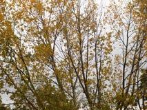Ramas de árbol del otoño con las hojas amarillas de oro Foto de archivo