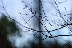 ramas de árbol desnudas de abedul en otoño contra fondo oscuro Fotos de archivo libres de regalías