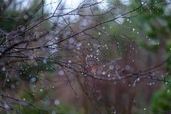 ramas de árbol desnudas de abedul en otoño contra fondo oscuro Imágenes de archivo libres de regalías