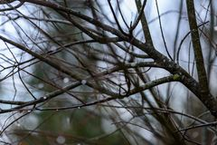 ramas de árbol desnudas de abedul en otoño contra fondo oscuro Foto de archivo