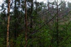 ramas de árbol desnudas de abedul en otoño contra fondo oscuro Foto de archivo libre de regalías