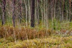 ramas de árbol desnudas de abedul en otoño contra fondo oscuro Imagen de archivo