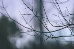 ramas de árbol desnudas de abedul en otoño contra fondo oscuro - VI Imagen de archivo