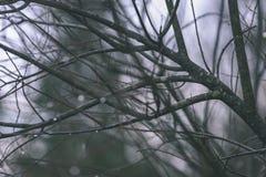 ramas de árbol desnudas de abedul en otoño contra fondo oscuro - VI Foto de archivo