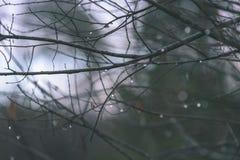 ramas de árbol desnudas de abedul en otoño contra fondo oscuro - VI Foto de archivo libre de regalías