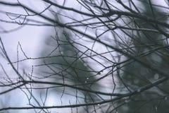 ramas de árbol desnudas de abedul en otoño contra fondo oscuro - VI Fotos de archivo libres de regalías